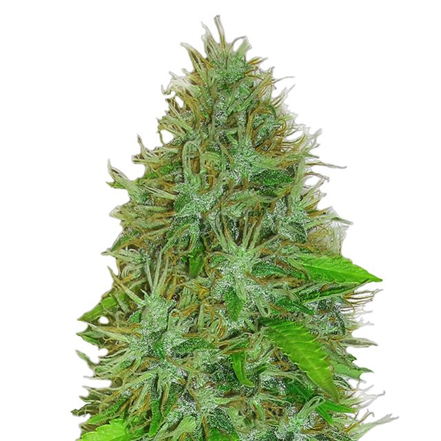 Heavyweight 2 Fast 2 Vast Auto Review | Cannabis Seeds Store