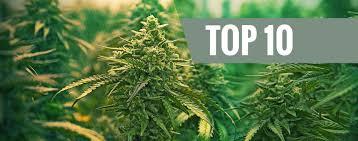Cannabis Seeds Store - The best winter cannabis strains