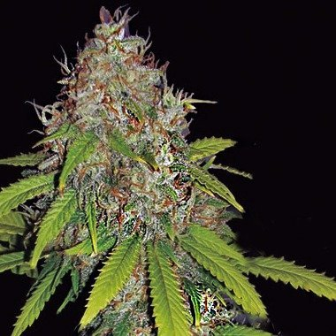 AK 49 Auto Feminised Cannabis Seeds By Vision Seeds Review