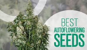 Auto Cannabis Seeds The Best Seeds - Cannabis Seeds Store.