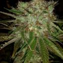 Garlic Cheese Feminised Cannabis Seeds | BC Bud Depot