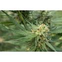 Pure Jack Feminised Cannabis Seed | 710 Genetics Seeds
