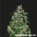 AK Kush Express Feminised Cannabis Seeds   Kalashnikov Seeds