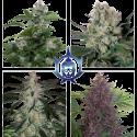 Assorted Auto Feminised Cannabis Seeds |  Buddha Seeds