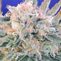 Auto Blueberry Ghost OG Feminised Cannabis Seeds   Original Sensible Seed Company