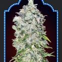 Auto OO Kush Feminised Cannabis Seeds   OO Seeds