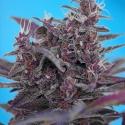 Auto Black Cream Feminised Cannabis Seeds   Sweet Seeds