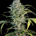 Big Monster Flow Feminised Cannabis Seeds | Big Monster Seeds