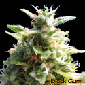 Black Gum Feminised Cannabis Seeds | The Original Sensible Seed Company