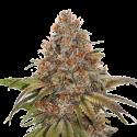 Blackberry Gum Auto Feminised Cannabis Seeds | Seed Stockers