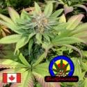 Blueberry Punch Regular Cannabis Seeds | Next Generation Seeds
