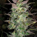 Couchlock Regular Cannabis Seeds | British Columbia