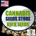Stardawg Feminized Cannabis Seeds | Good Buzz Genetics