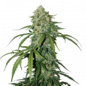 CBD 1:1 Silver Lime Haze Auto Feminised Cannabis Seeds | Seed Stockers