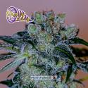 Crazy Lazy Feminised Cannabis Seeds | Positronics