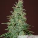 El Alquemista Auto Feminised Cannabis Seeds | Samsara Seeds