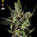 Exodus Cheese Feminised Cannabis Seeds | Green House Seeds