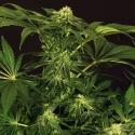 Green Gummy Feminised Cannabis Seeds