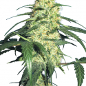 Dutch Delight Feminised Cannabis Seeds