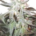Pot of Gold Regular Cannabis Sseds