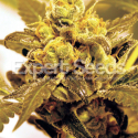 Fruit Salad Feminised Cannabis Seeds | Expert Seeds
