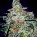 Funky Skunky Auto Feminised Cannabis Seeds | Expert Seeds