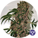 Girl Scout Cookies Extreme Feminised Cannabis Seeds | Bulldog Seeds
