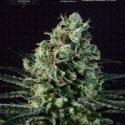 Goldenberry Feminised Cannabis Seeds
