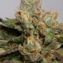 707 Truthband by Emerald Mountain Feminised Cannabis Seeds   Humbolt Seeds Organisation