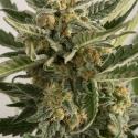 Lost Coast Skunk Auto Feminised Cannabis Seeds | Humboldt Seed Organisation