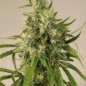 Trainwreck Regular Cannabis Seeds | Humboldt Seed Organisation