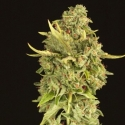 Hell's Bells Regular Cannabis Seeds | Devil's Harvest Seeds