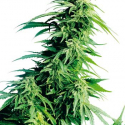 Hindu Kush Auto Feminised Cannabis Seeds | Sensi Seeds