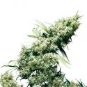 Jamaican Pearl Regular Cannabis Seeds   Sensi Seeds