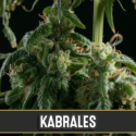 Kabrales Feminised Cannabis Seeds   Blim Burn Seeds
