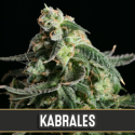 Kabrales Automatic Feminised Cannabis Seeds | Blim Burn Seeds