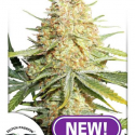 Lemon Zkittle Feminised Cannabis Seeds | Dutch Passion