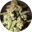 Micron Auto Tao Regular Cannabis Seeds