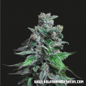 Moscow Blueberry Feminised Cannabis Seeds | Kalashnikov Seeds
