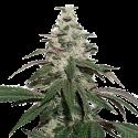 Nicole Cream Auto Feminised Cannabis Seeds   Seed Stockers
