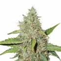 Northern Lights Auto Feminised Cannabis Seeds | Seed Stockers