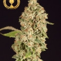 OG Reek'n Feminised Cannabis Seeds | Devil's Harvest Seeds