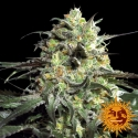 Peyote Cookies Feminised Cannabis Seeds | Barney's Farm