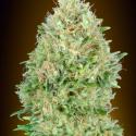 Pineapple Glue Feminised Cannabis Seeds | Advanced Seeds