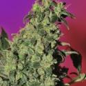 Point of No Return Regular Cannabis Seeds