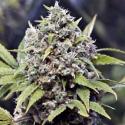 Pure AK Feminised Cannabis Seeds | Female Seeds