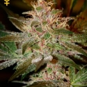 Pure Kush Feminised Cannabis Seeds | Green House Seeds