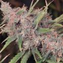 Purple Caper Regular Cannabis Seeds | Purple Caper