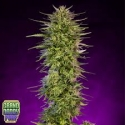 Purple Dreams Regular Cannabis Seeds | Grand Daddy Purp