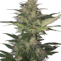 Red Dwarf Auto Feminised Cannabis Seeds | Buddha Seeds